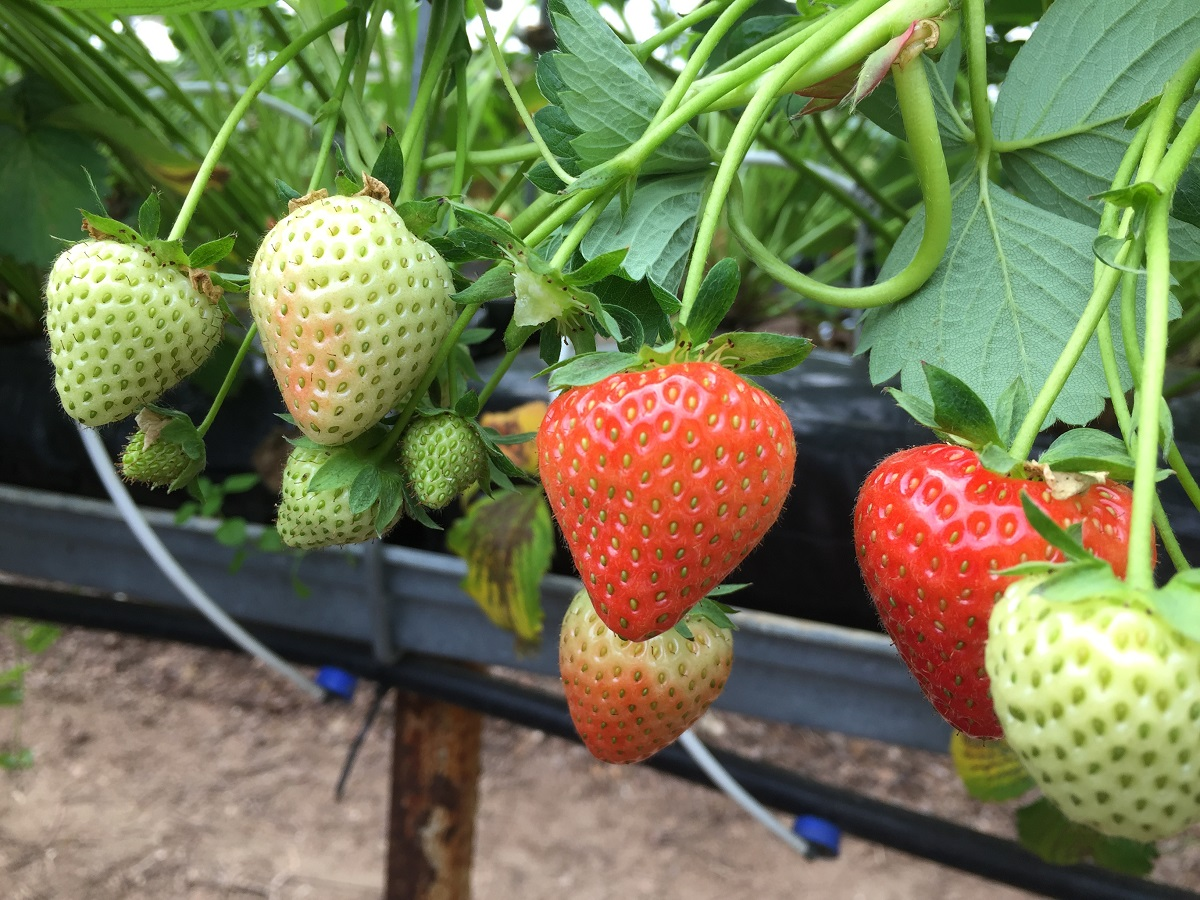 Strawberry picking at Rectory Farm