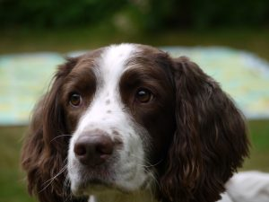 Dog Hearing Dogs Latte Summer Show - Sunday 10th September