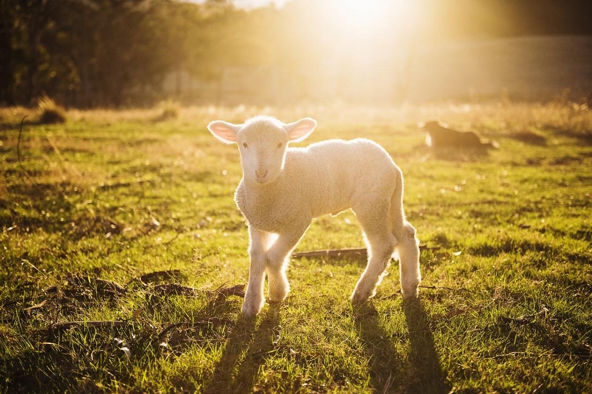Moreton Barn Lambing