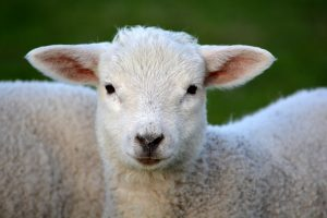 lambing in Oxfordshire